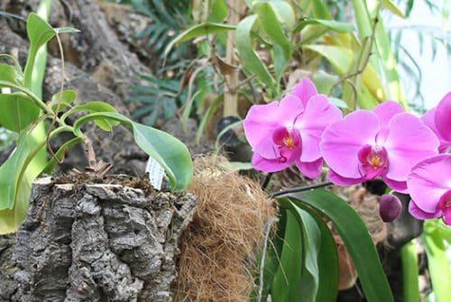 Comment tu récupère une orchidée morte?