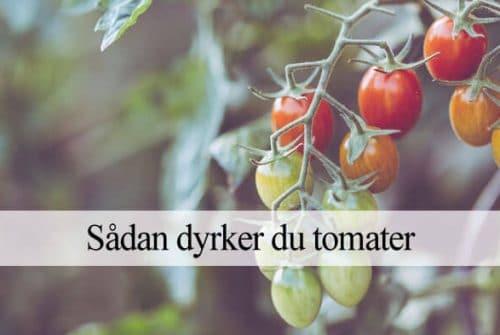 Quand et comment planter des tomates?